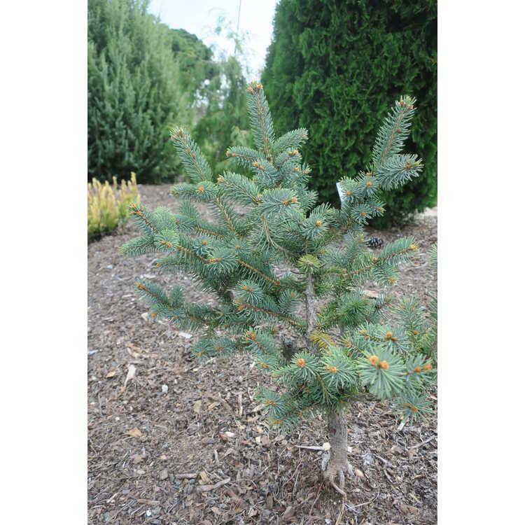 Picea likiangensis var. montigena