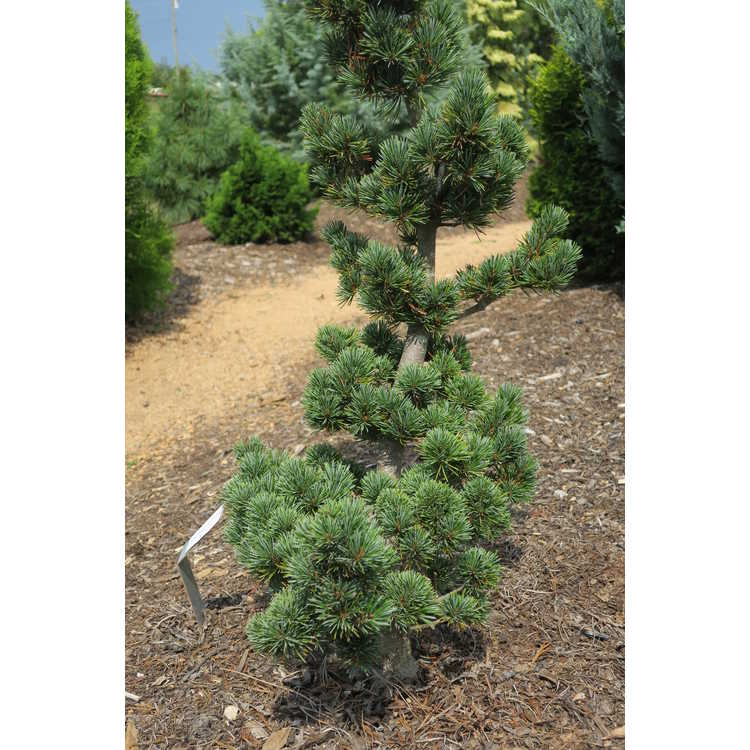 Pinus parviflora 'Aoi' - Japanese white pine