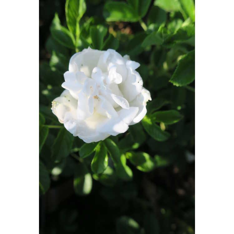 Rosa Blanc Double de Courbet