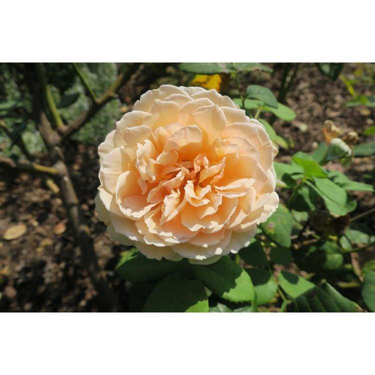 Rosa 'Auswinter' - Crown Princess Margareta climbing English rose