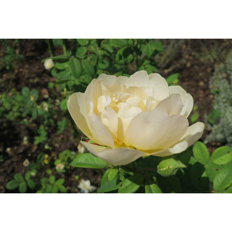 Rosa 'Ausblanket'