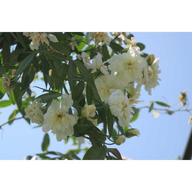 Rosa 'Auscanary' - Malvern Hills rambling rose