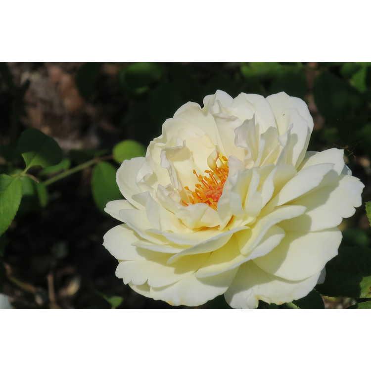 Rosa 'Ausprior' - Claire Austin shrub-climbing rose