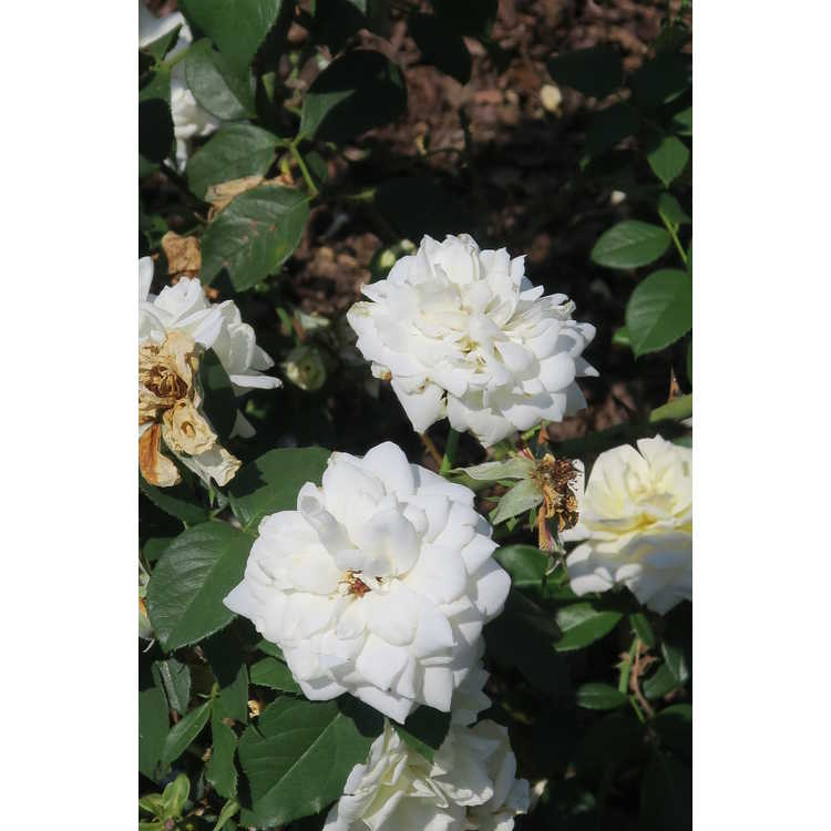 Rosa 'Baicham' - Easy Elegance Champagne Wishes shrub rose