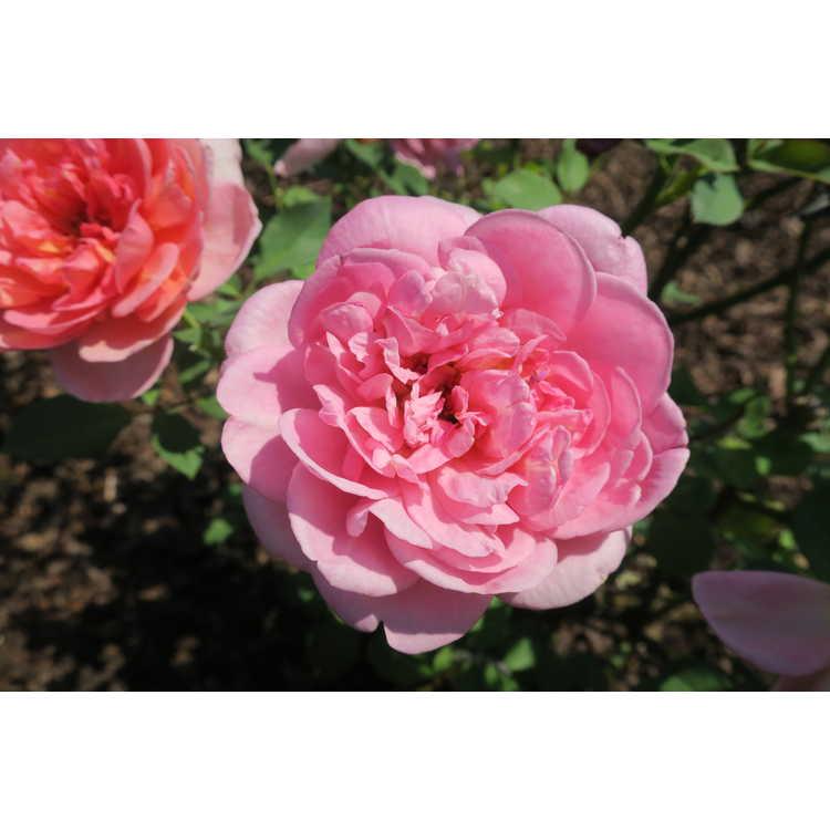 Rosa 'Auscousin'