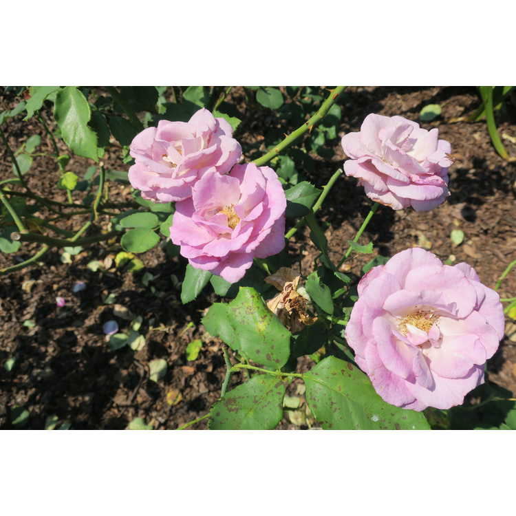 Rosa Dorient Melody Parfumee