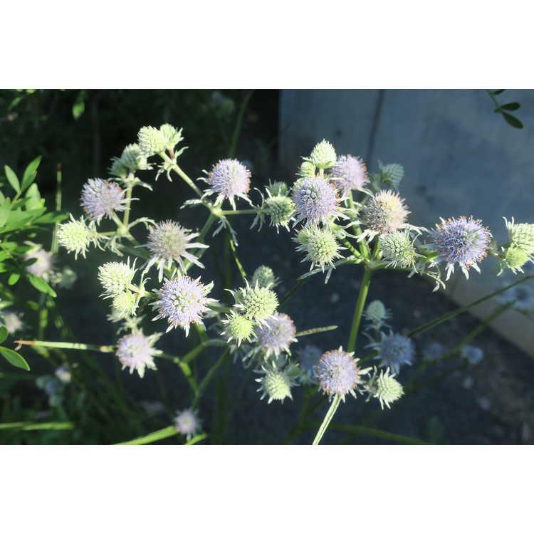 Eryngium aquaticum ravenellii