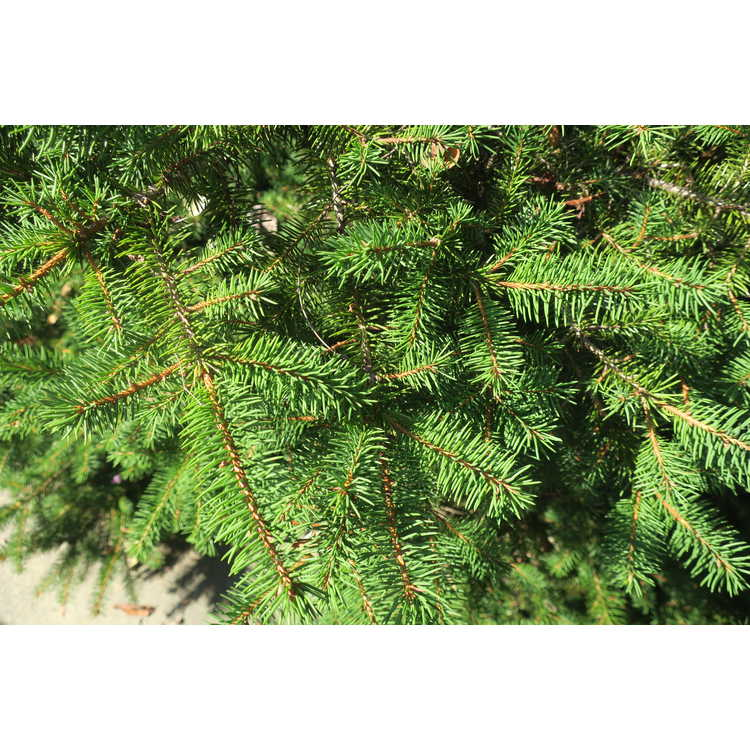 Picea abies 'Maxwellii'