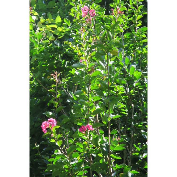 Lagerstroemia indica Whit I Raspberry Sundae