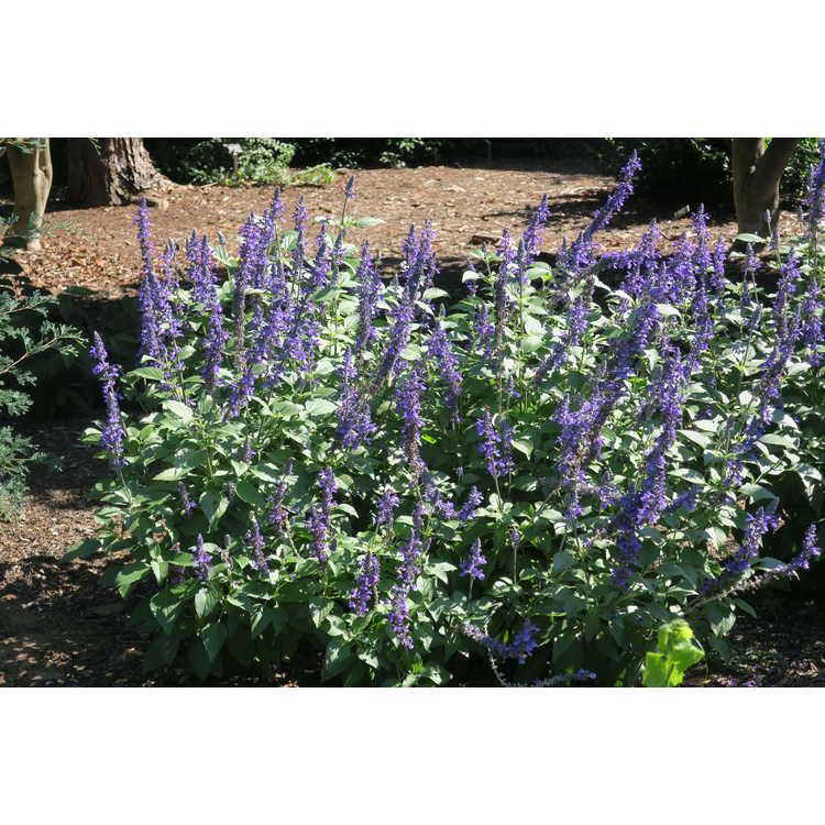 Salvia Mystic Spires Improved