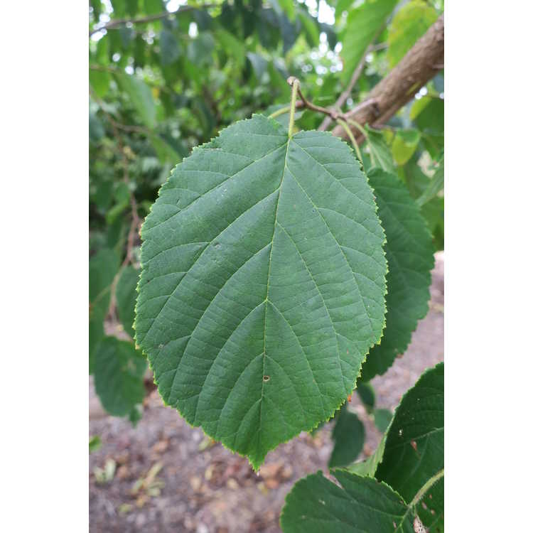 Corylus chinensis - Chinese hazelnut