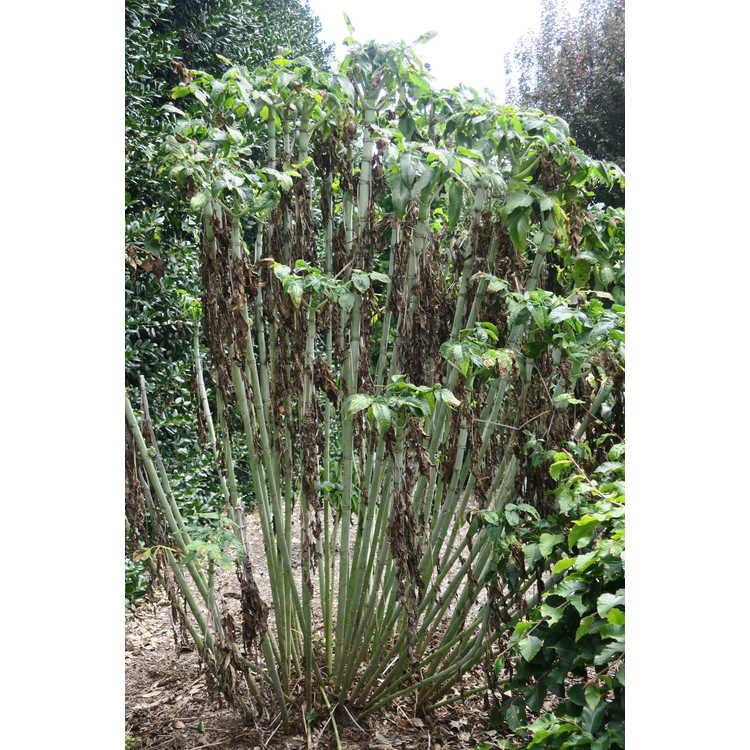 Dahlia imperialis (double white) - tree dahlia