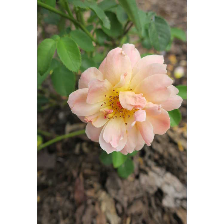 Rosa 'Horcogjil' - At Last shrub rose