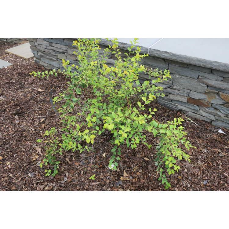 Spiraea ×vanhouttei 'Levgold' - Firegold golden Vanhoutte spirea