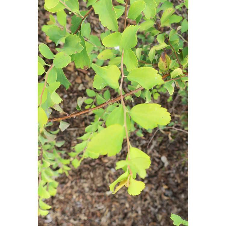 Spiraea ×vanhouttei 'Levgold'