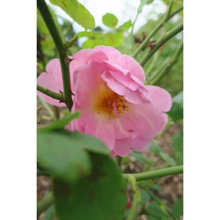 Rosa 'Auspaddle'