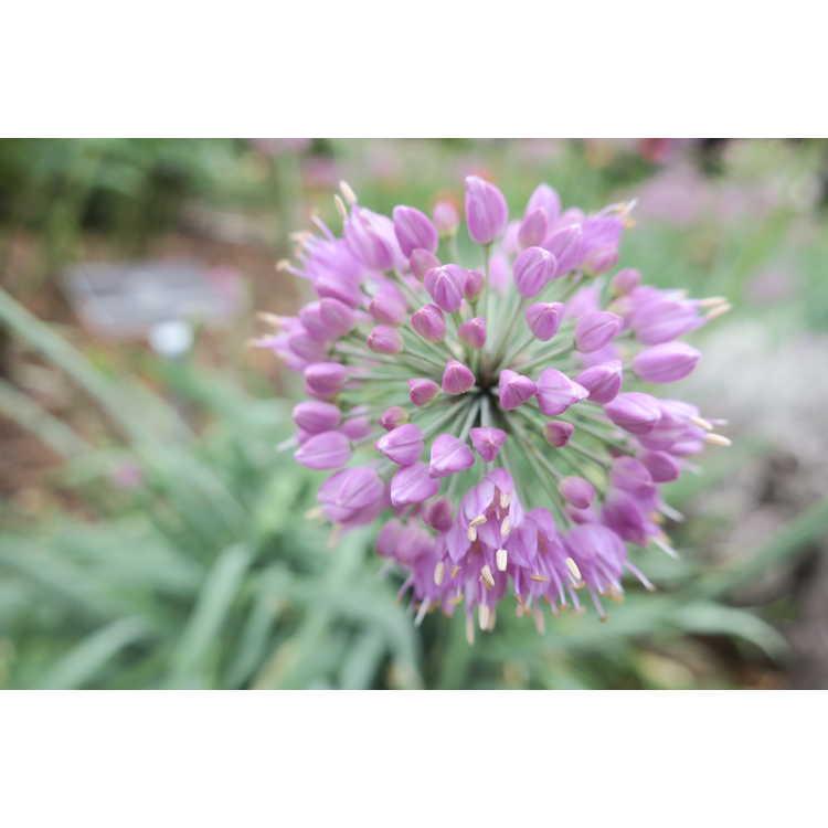 Allium cepa 'Medusa' - ornamental onion