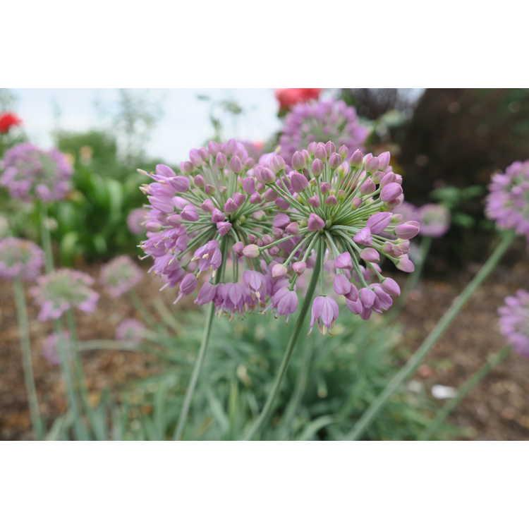 Allium cepa 'Medusa'