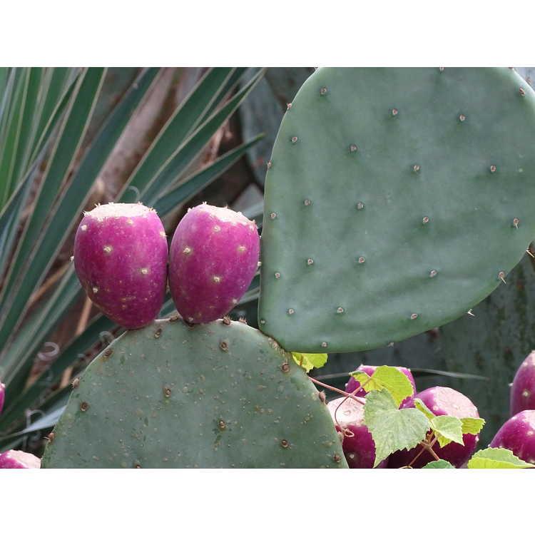 Opuntia phaeacantha - tulip prickly-pear