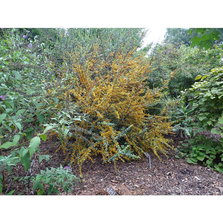 Pyracantha 'Cadange' - Saphyr Orange firethorn