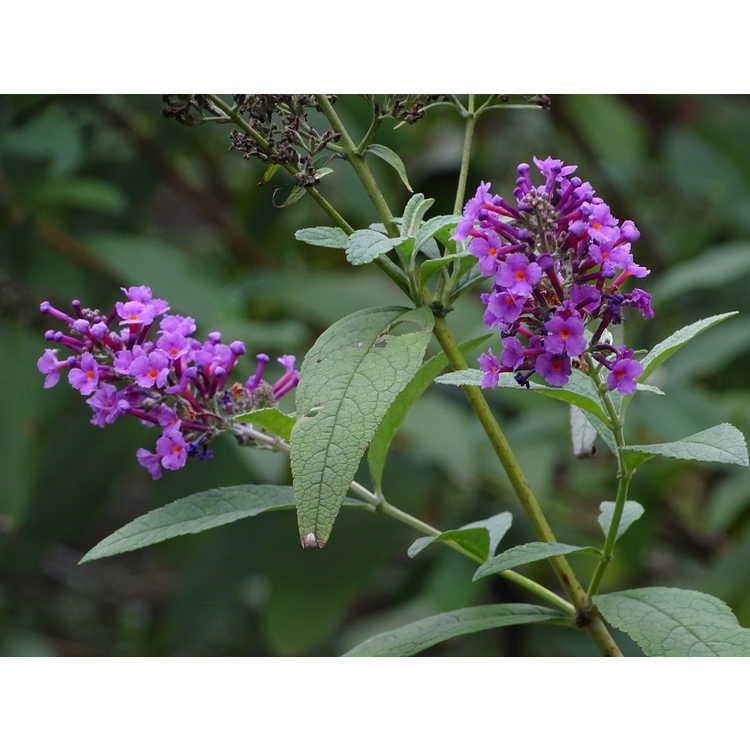 Buddleja davidii 'Opera' - butterfly-bush