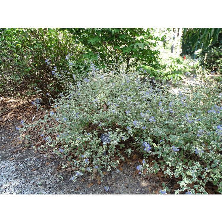 Caryopteris ×clandonensis 'White Surprise' - variegated bluebeard