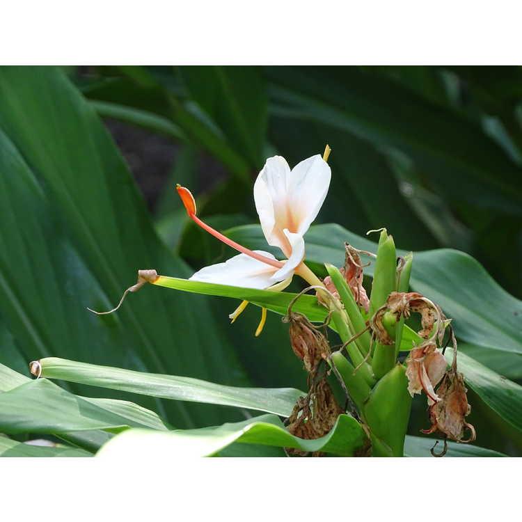 Hedychium Golden Butterfly