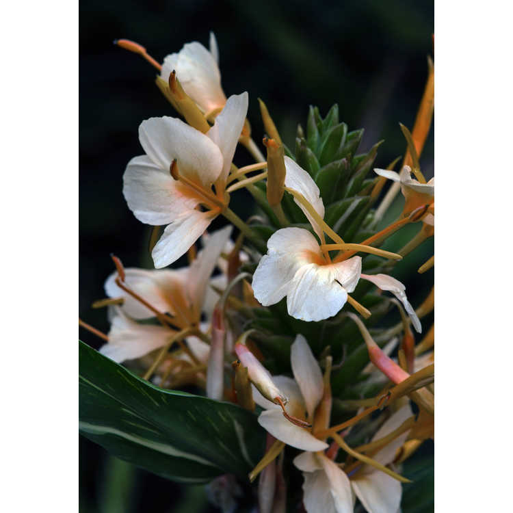 Hedychium 'Dr. Moy' - variegated ginger-lily