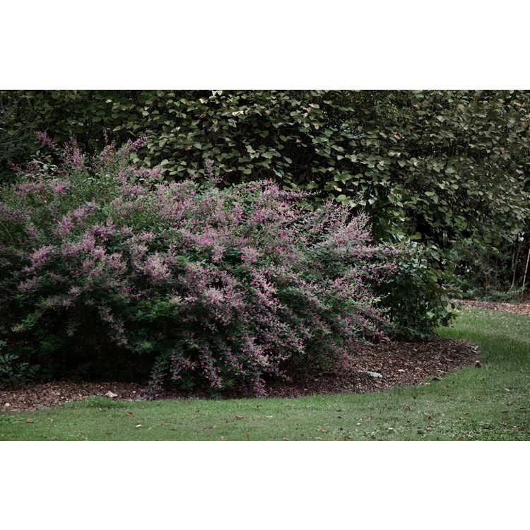 Lespedeza liukiuensis 'Little Volcano' - bush-clover