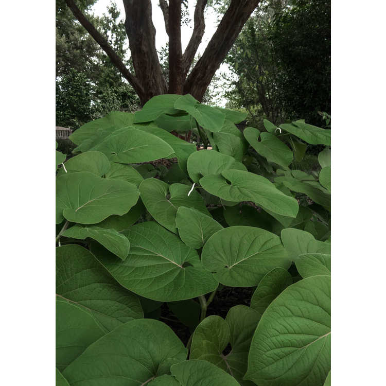 Piper auritum - root beer plant
