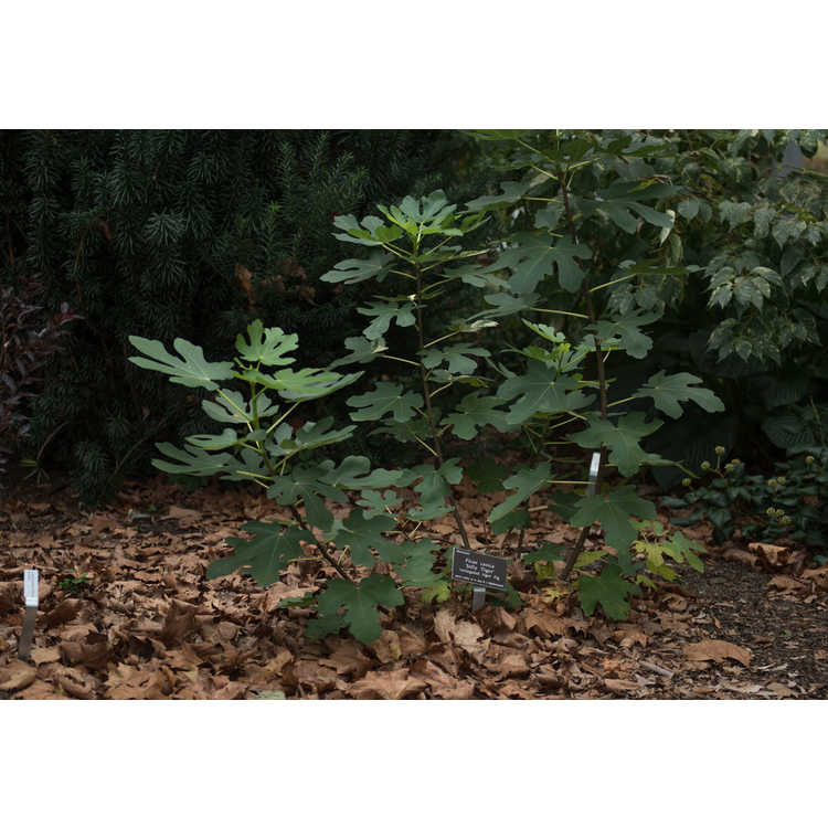 Ficus carica 'Jolly Tiger'