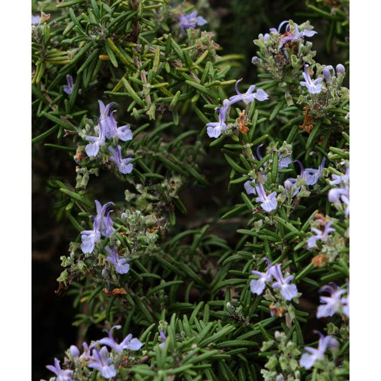 Rosmarinus officinalis Renzels Irene