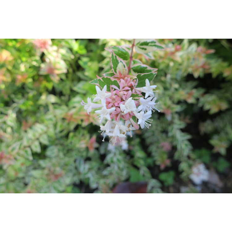 Abelia ×grandiflora 'Mardi Gras'