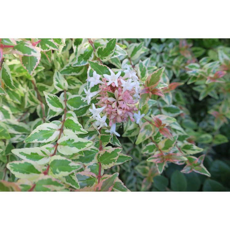 Abelia grandiflora Mardi Gras