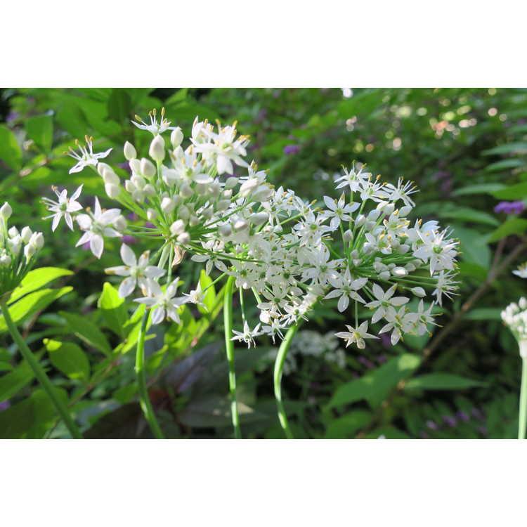Allium canadense mobilense