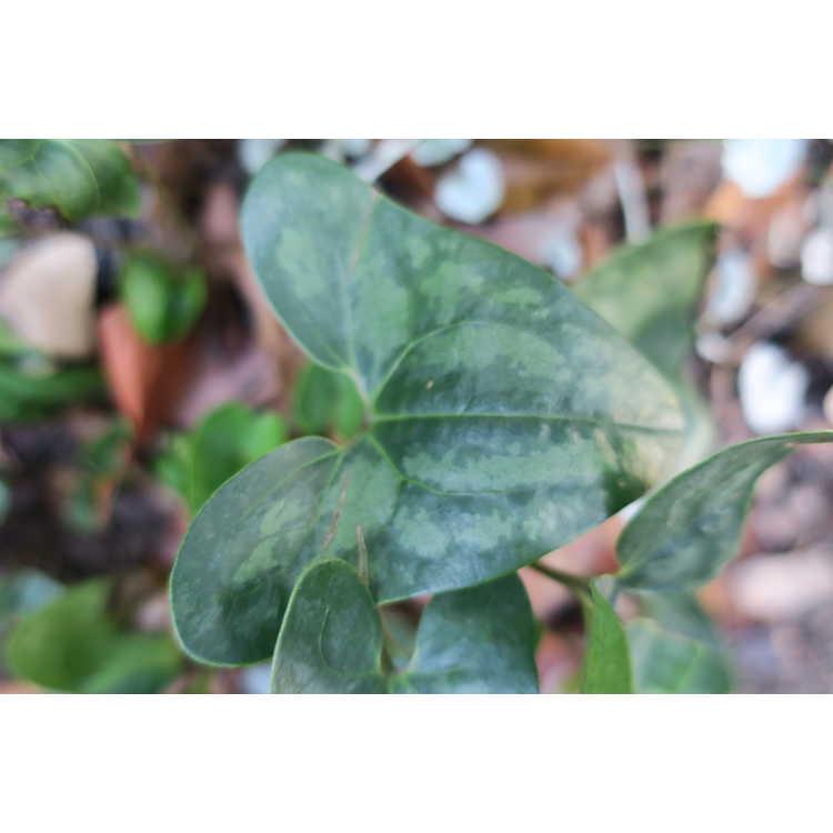 Asarum arifolium 'Brunswick Stew' - arrow-leaf ginger