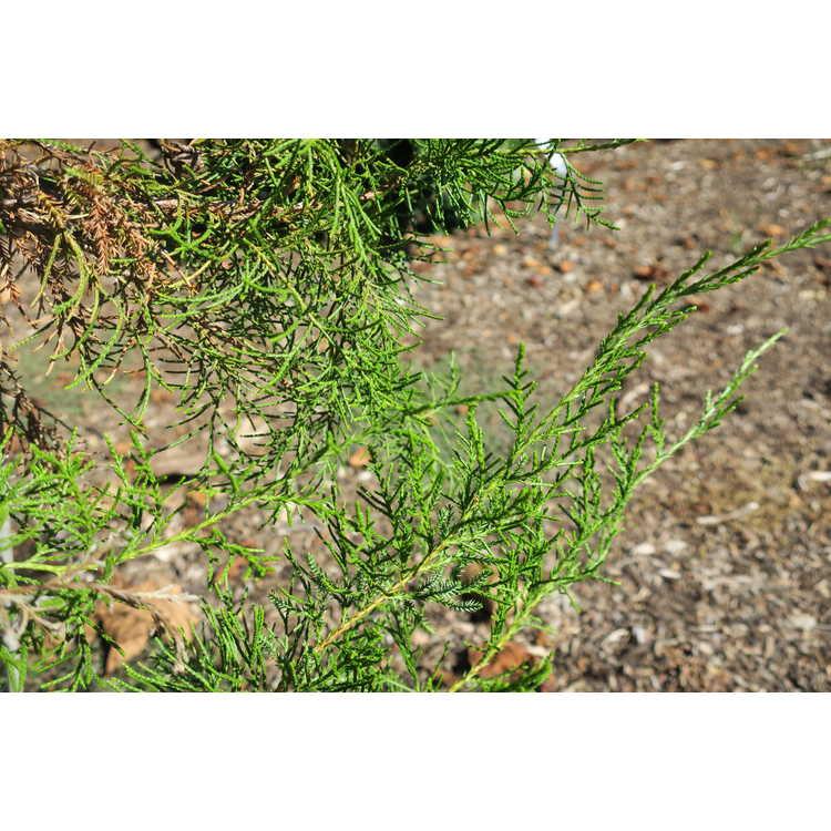 Juniperus barbadensis var. luceyana
