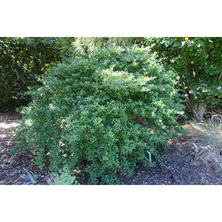 Viburnum obovatum 'Walter's Claim to Fame' - compact Walter's viburnum