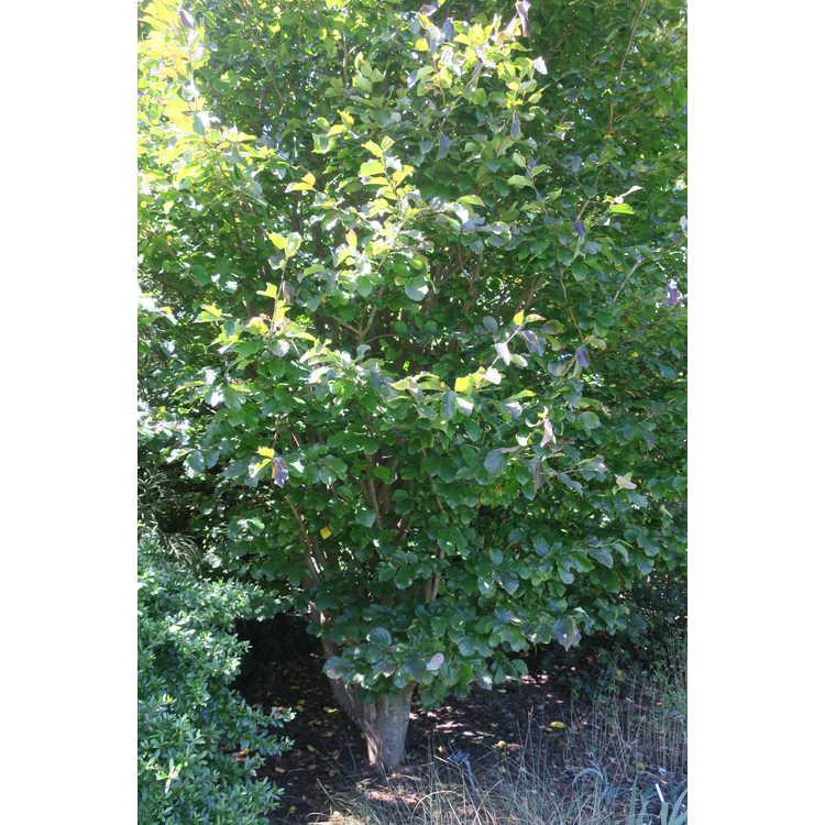 Parrotia persica 'Burgundy' - Persian ironwood