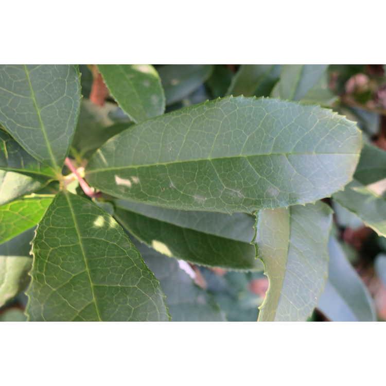 Osmanthus fragrans f. aurantiacus 'Beni Kin Mokusei'