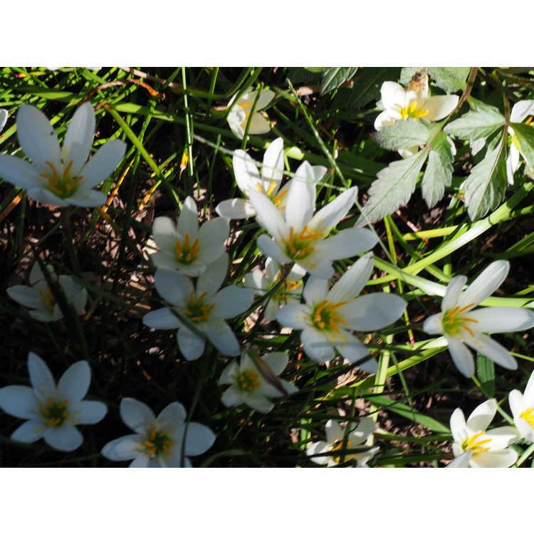 Zephyranthes candida - white rain-lily