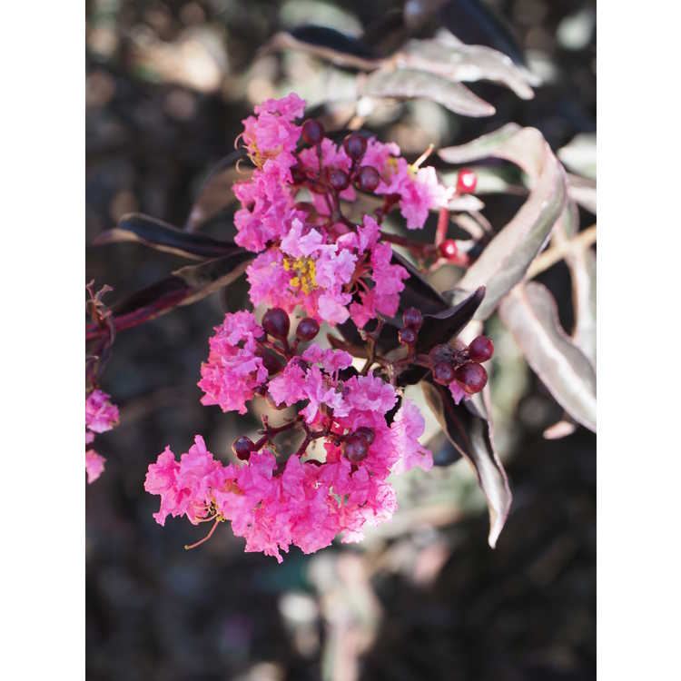 Lagerstroemia (purple leaf)