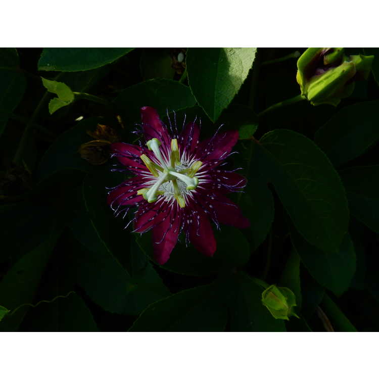 Passiflora 'Lady Margaret' - passion flower