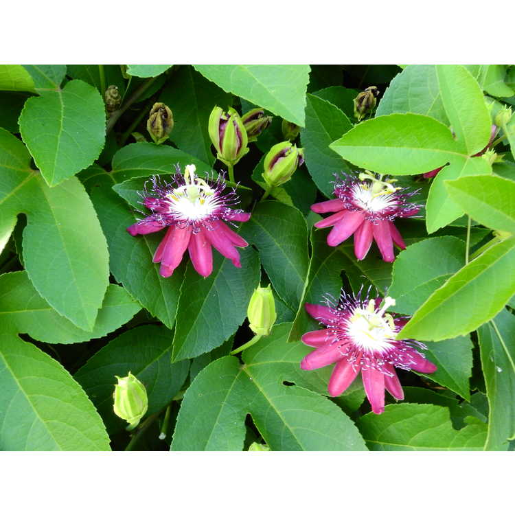 Passiflora 'Lady Margaret' - passion flower