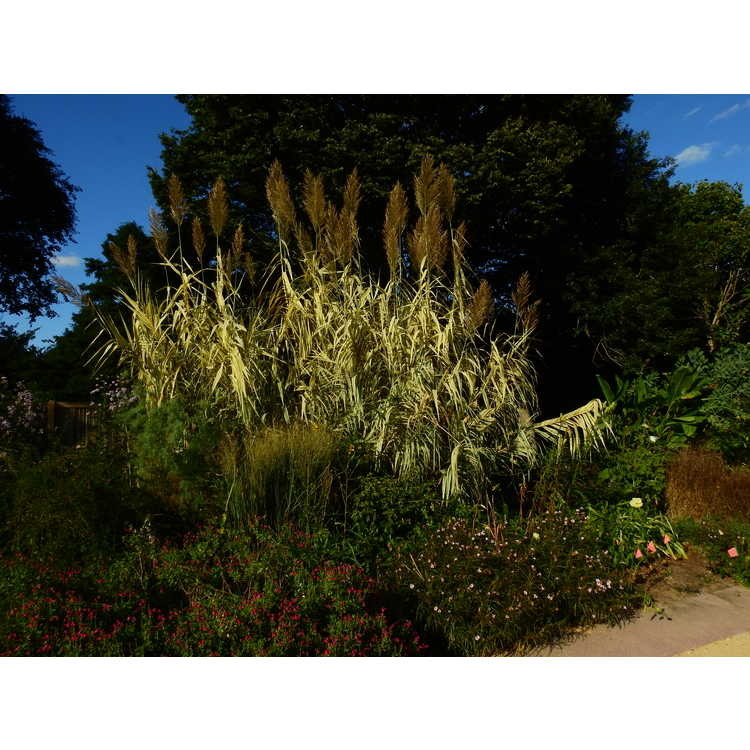 Arundo donax 'Peppermint Stick' - variegated giant reed
