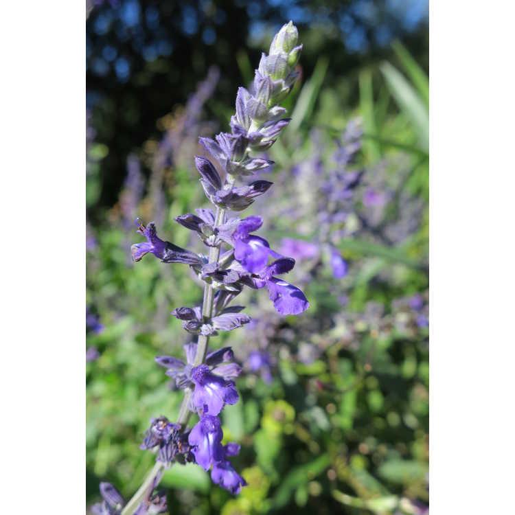 Salvia 'Indigo Spires' - flowering sage