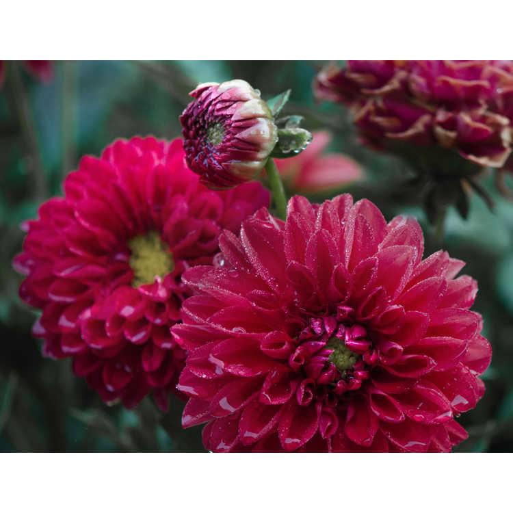 Dahlia - Dalina Maxi Tampico garden dahlia