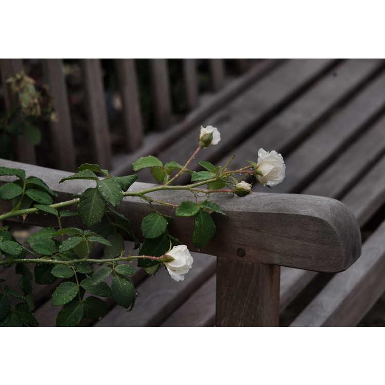Rosa 'Radclean' - Cloud 10 climbing rose