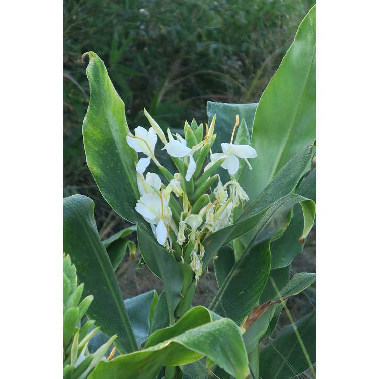 Hedychium Tai Savannah