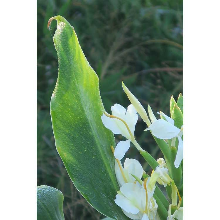 Hedychium 'Tai Savannah'